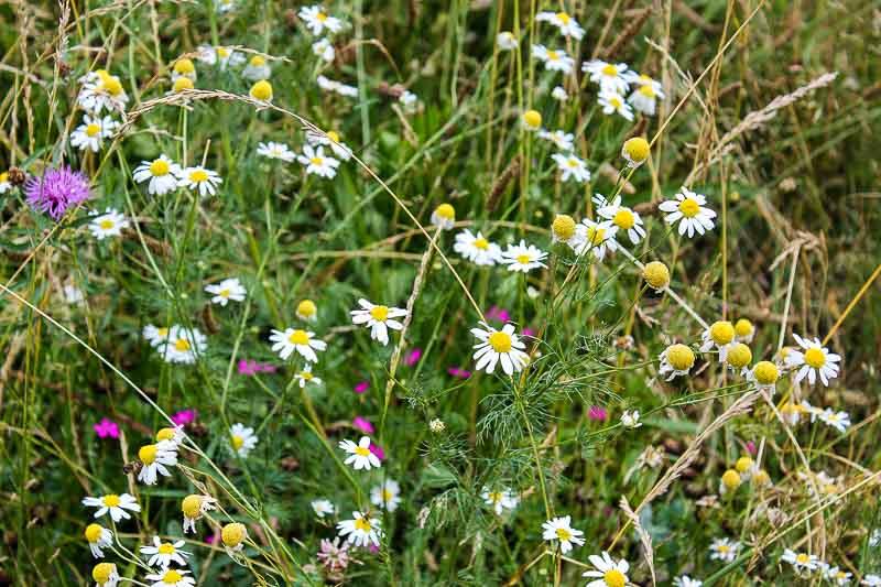 Wildblumen in Vimmerby-Naes.