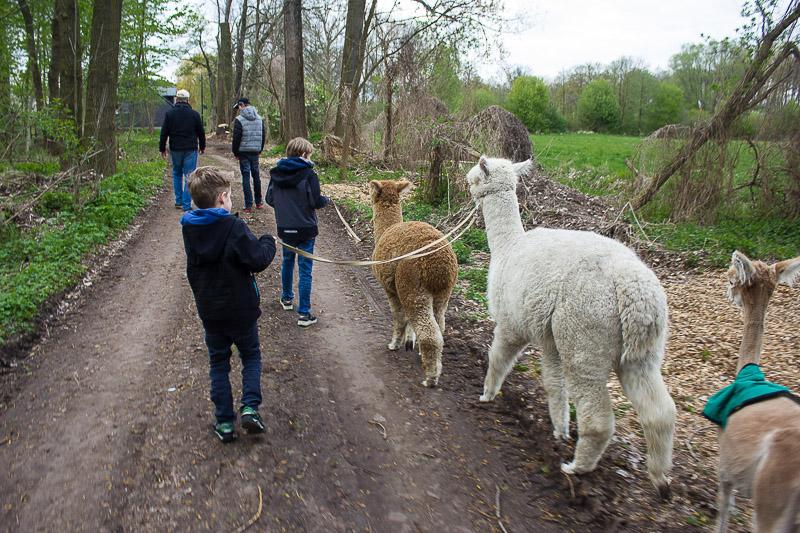Alpakas im Spreewald.