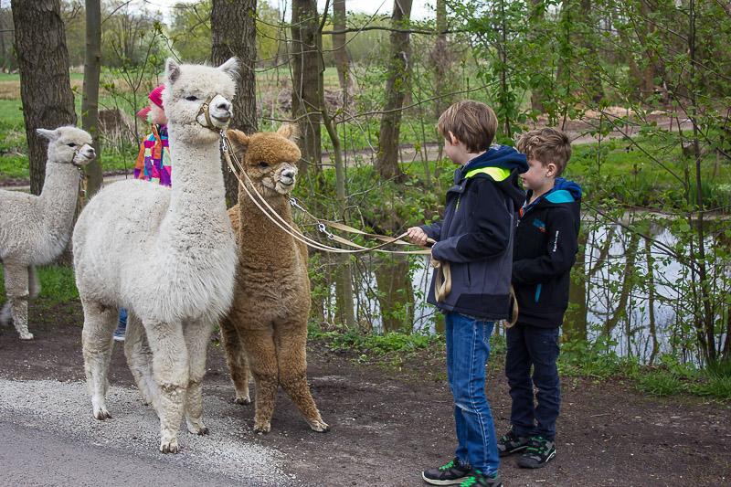 Die Alpakas im Spreewald.