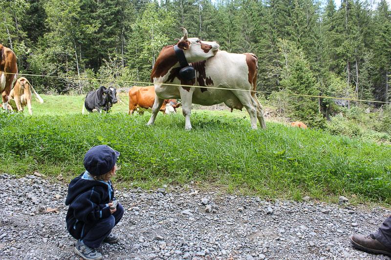 Schweizer braun-weisse Kuh mit Glocke.