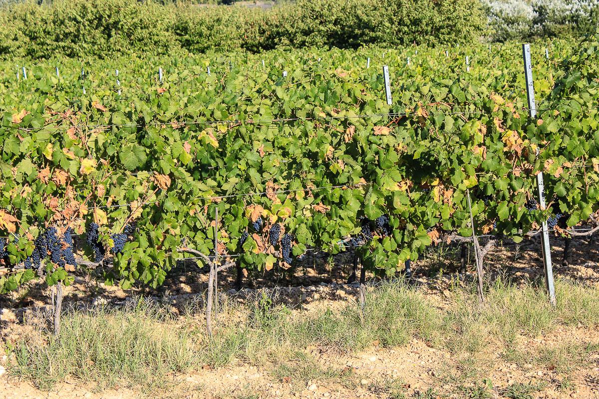 Weinreben in Suedfrankreich- Provence