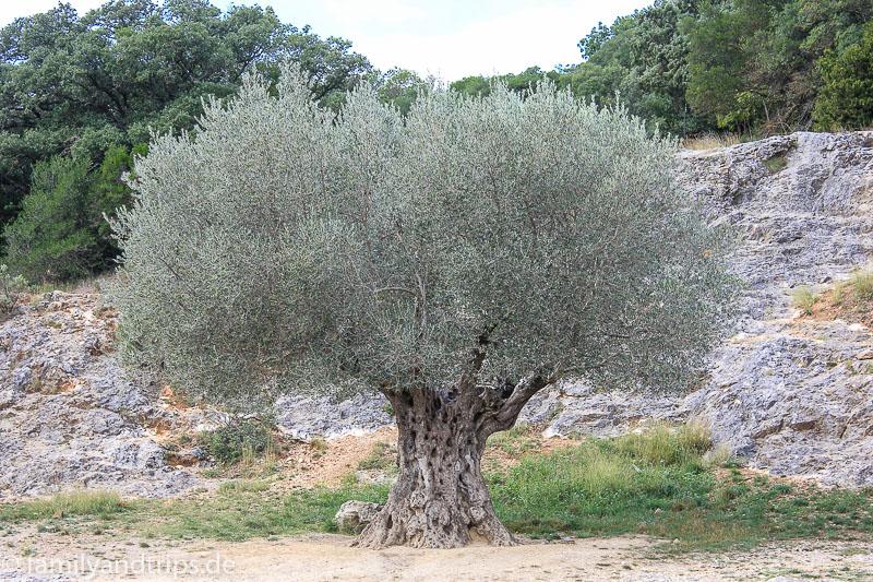 Olivenbaum Pont du Gard